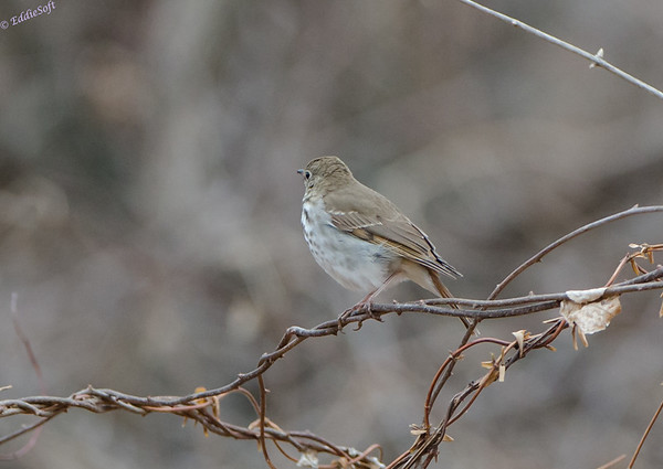 Hermit Thrush shot near West Alton Missouri (Ellis Island) March 2014