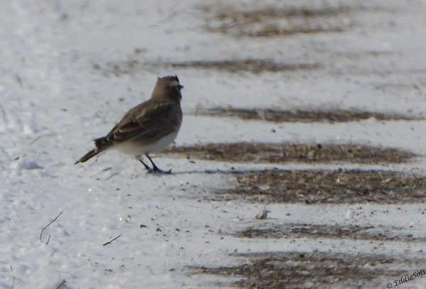 Horned Lark shot North of Galesburg Feb 2014
