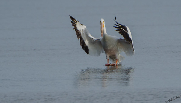 American White Pelican shot in Davenport IA on the Mississippi River in February 2014