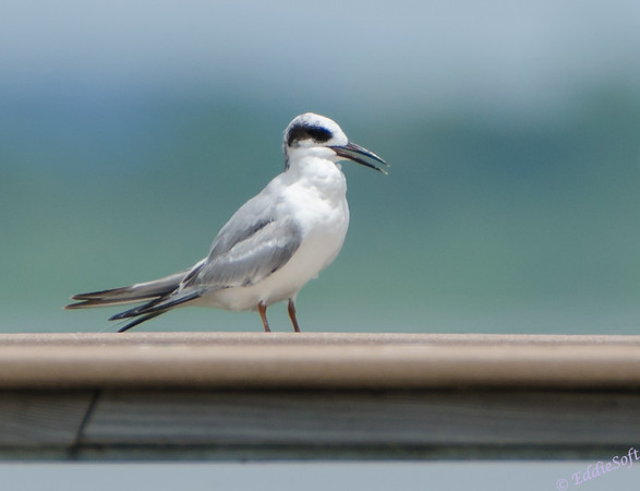 Forster's Tern shot at Emiquon National Wildlife Refuge June 2013