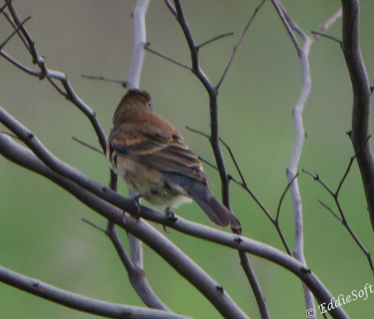 Blue Grosbeak at Matthiessen State Park in Utica, Illinois, May 2015