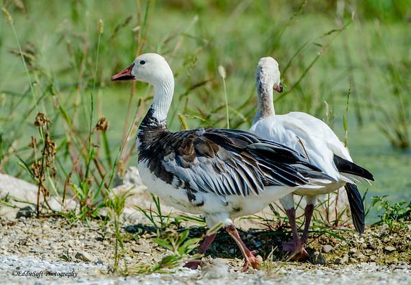 Snow Geese taken at Emiquon National Wildlife Refuge