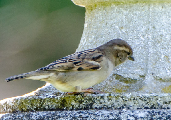 Allerton Park Female House Sparrow - 04/2015