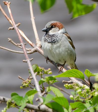 House Sparrow Shot at Allerton Park