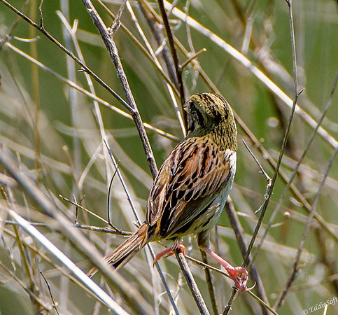 Henslow's Sparrow found at Glacial Park Conservation Area in May 2018