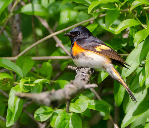 American Redstart found at Chain O' Lakes State Park, Spring Grove IL in June 2019