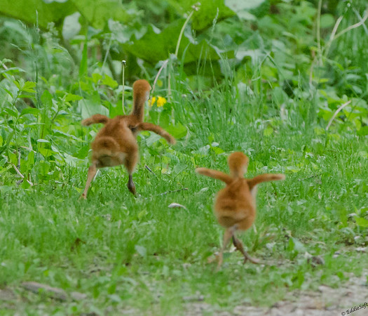 Sandhill Crane Family shot at Chain O' Lakes State Park, Spring Grove IL in June 2017