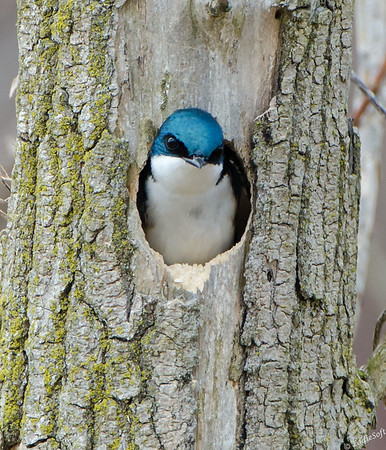 Tree Swallow shot at Chain O' Lakes State Park, Spring Grove, IL in April 2017