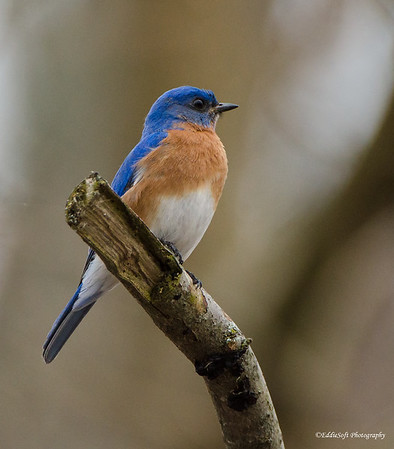 Eastern Bluebird found at Chain O' Lakes State Park, Spring Grove, IL in April 2017