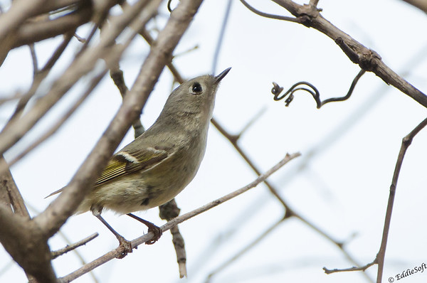 Ruby-Crowned Kinglet found at Chain O' Lakes State Park, Spring Grove, IL in April 2017