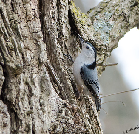 White-Breasted Nuthatch found at Chain O' Lakes State Park, Spring Grove, IL April 2017