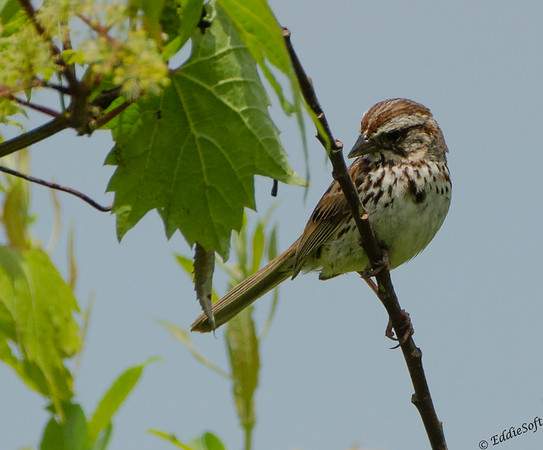Song Sparrow found at Chain O' Lakes State Park in June 2019