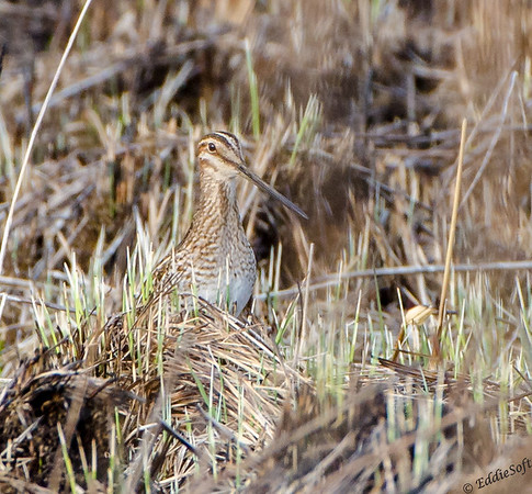 Wilson's Snipe found at Chain O' Lakes State Park, Spring Grove, IL April 2017