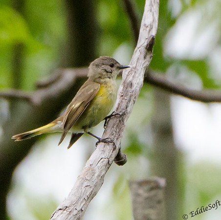 American Redstart found at Chain O' Lakes State Park, Spring Grove IL in June 2017