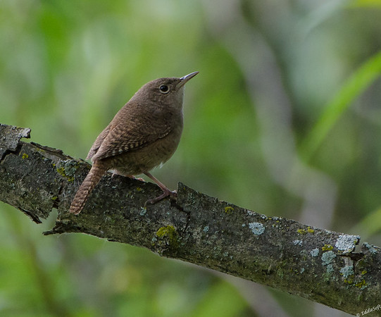 House Wren found at Chain O' Lakes State Park, Spring Grove IL. June 2019