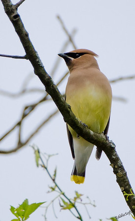 Cedar Waxwing found at Chain O' Lakes State Park, Spring Grove, IL in June 2017