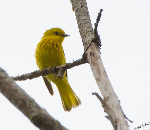 Yellow Warbler found at Chain O' Lakes State Park in June 2019