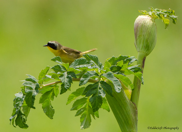 Common Yellowthroat found at Chain O' Lakes State Park, Spring Grove, IL June 2019