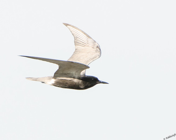Black Tern found at Chain O' Lakes State Park, Spring Grove IL in June 2017