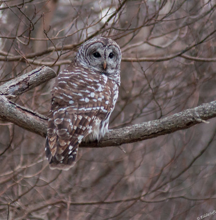 Barred Owl found at Jubilee College State Park in December 2020