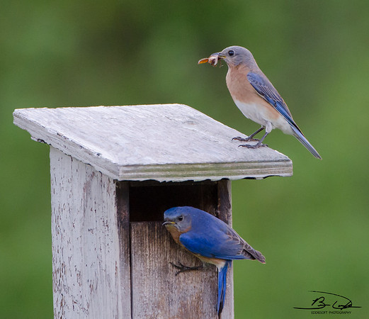 Eastern Bluebird couple shot at Jubilee State Park in May 2015