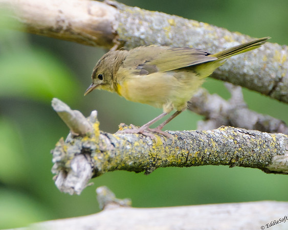 Female Common Yellowthroat shot at Jubilee State Park IL August 2014