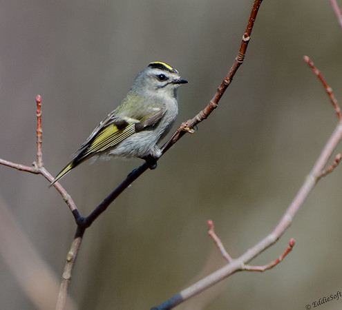 Golden-Crowned Kinglet shot in Jubilee State Park April 2014