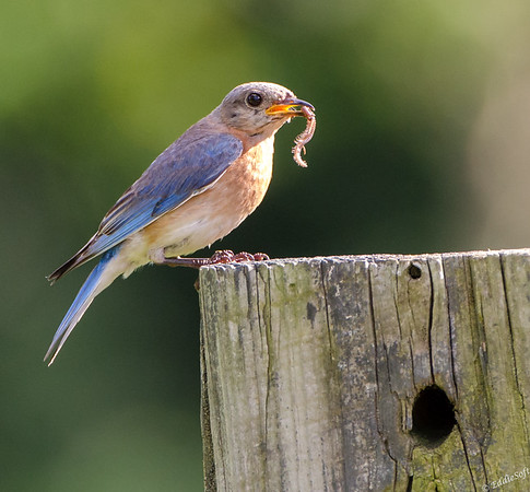 Eastern Bluebird found at Jubilee State Park June 2017