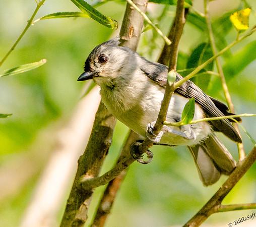 Birds of Jubilee State Park - June 2017