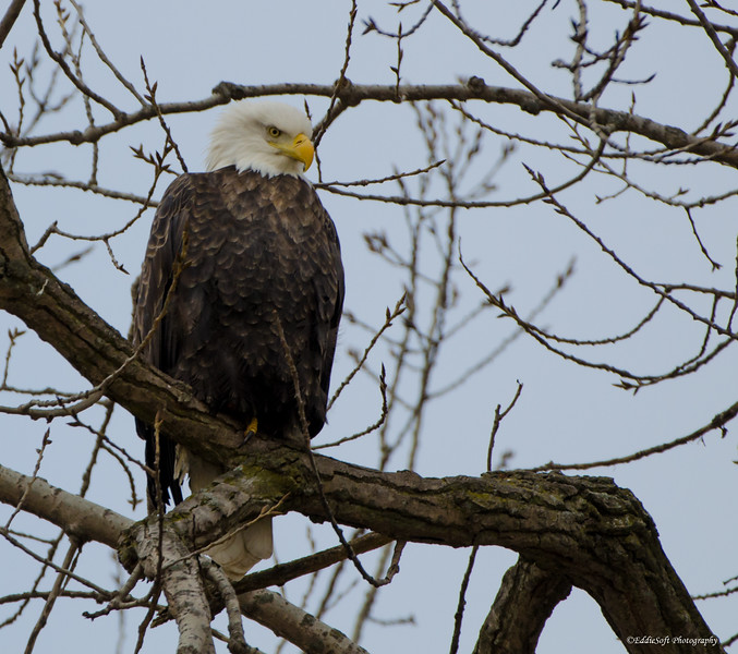 American Bald Eagle found in Davenport, IA in January 2017