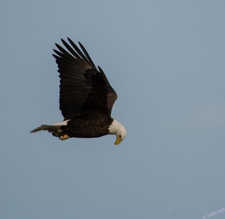 Eagles Along Mississippi River in March 2015
