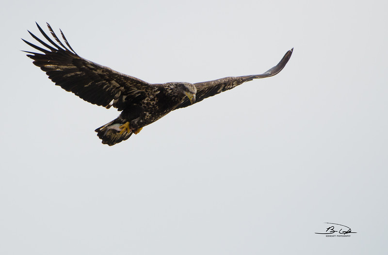 American Bald Eagle found in Bettendorf, IA, in January 2017