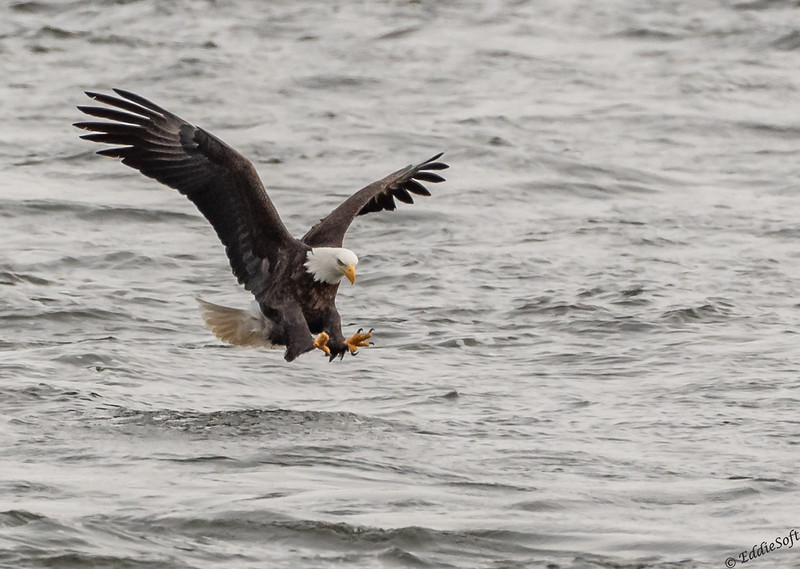 Bald Eagles found in Davenport IA in February 2021