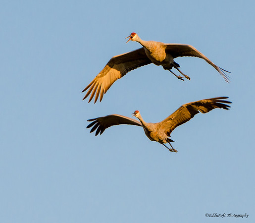 Sandhill Crane Horicon National Wildlife Refuge Mayville Wisconsin September 2014
