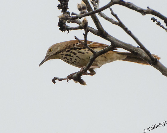 Brown Thrasher found in Iowa while birding there in April 2017