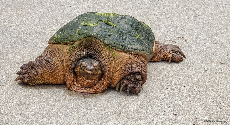 Turtle found on our lot