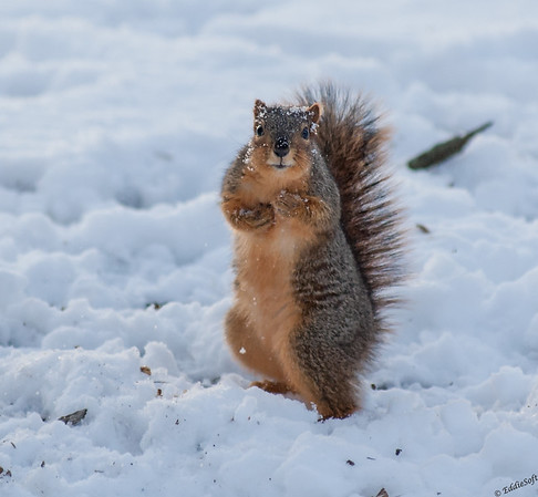 Squirrel shot in Washington Park, Springfield IL February 2015