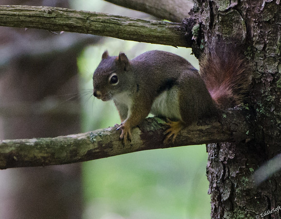 Squirrels at Bitmore July 2014