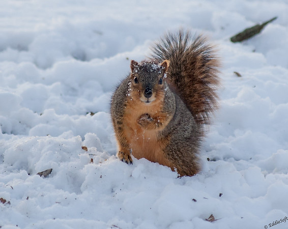 Squirrel shot in Washington Park, Springfield IL February 2015