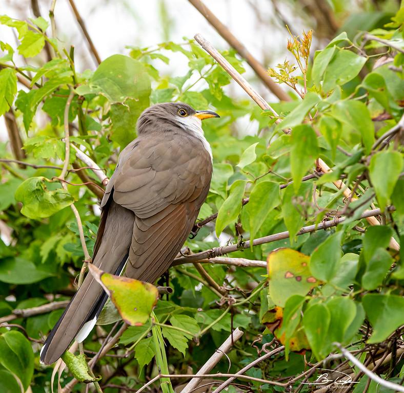 Yellow-Billed Cuckoo found at Dauphin Island, Alabama in April 2021