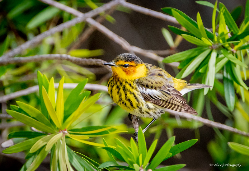 Cape May Warbler found at Dauphin Island, Alabama in April 2021