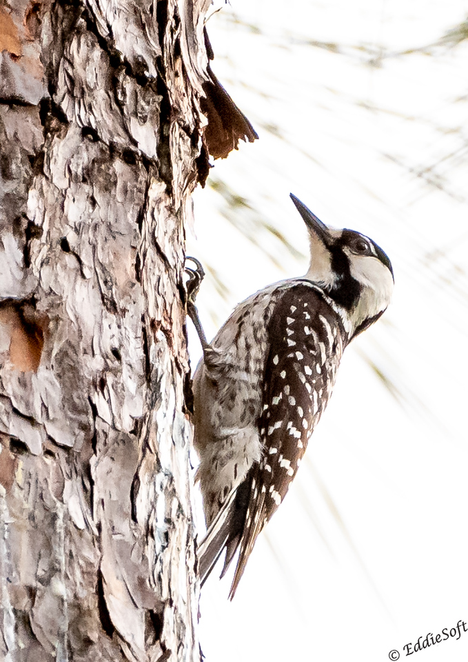 Red-Cockaded Woodpecker found at Blackwater River State Forest near Milton, Florida in April 2021