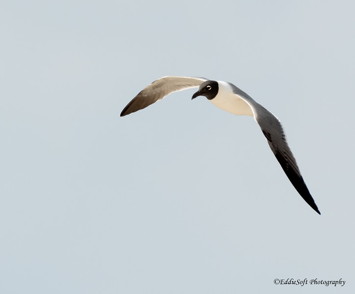 Laughing Gull found at Dauphin Island, Alabama Gulf Shores in January of 2021