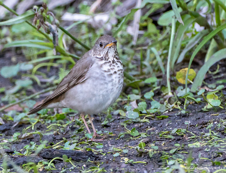 Gray-Cheeked Thrush found at Shell Mound on Dauphin Island, Alabama in April 2021