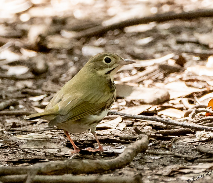 Oven Bird found at Dauphin Island's Shell Mound in April 2021