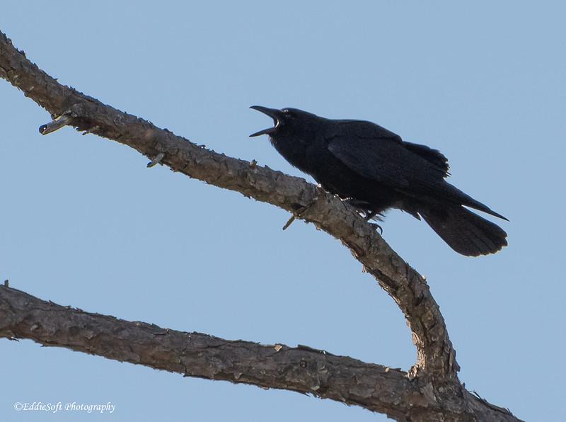 Fish Crow found at Audubon Bird Sanctuary on Dauphin Island, Alabama in April 2021