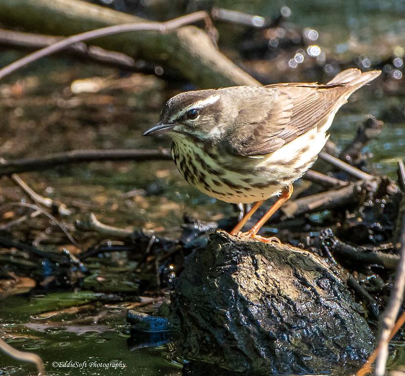 Louisiana Waterthrush found at Shell Mound on Dauphin Island, Alabama in April 2021