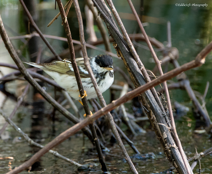 Blackpoll Warbler found at Shell Mound, Dauphin Island in April 2021