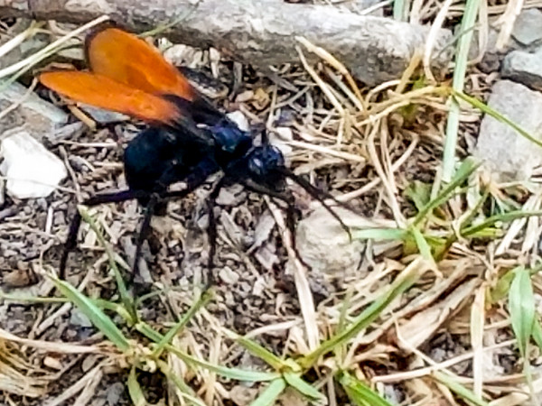 Tarantula Hawk Wasp discovered in Arkansas July 2018