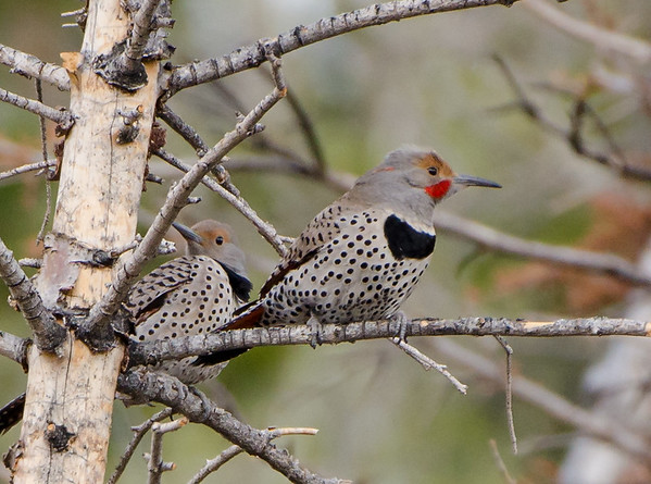 Northern Flicker - Red Shafted - shot in Colorado May 2014